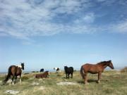 Bodmin Moor Ponies