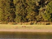 Deer in Macclesfield Forest